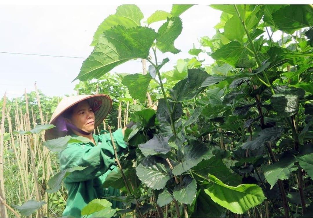 Nghề trồng dâu nuôi tằm đã đem lại thu nhập cao cho người dân