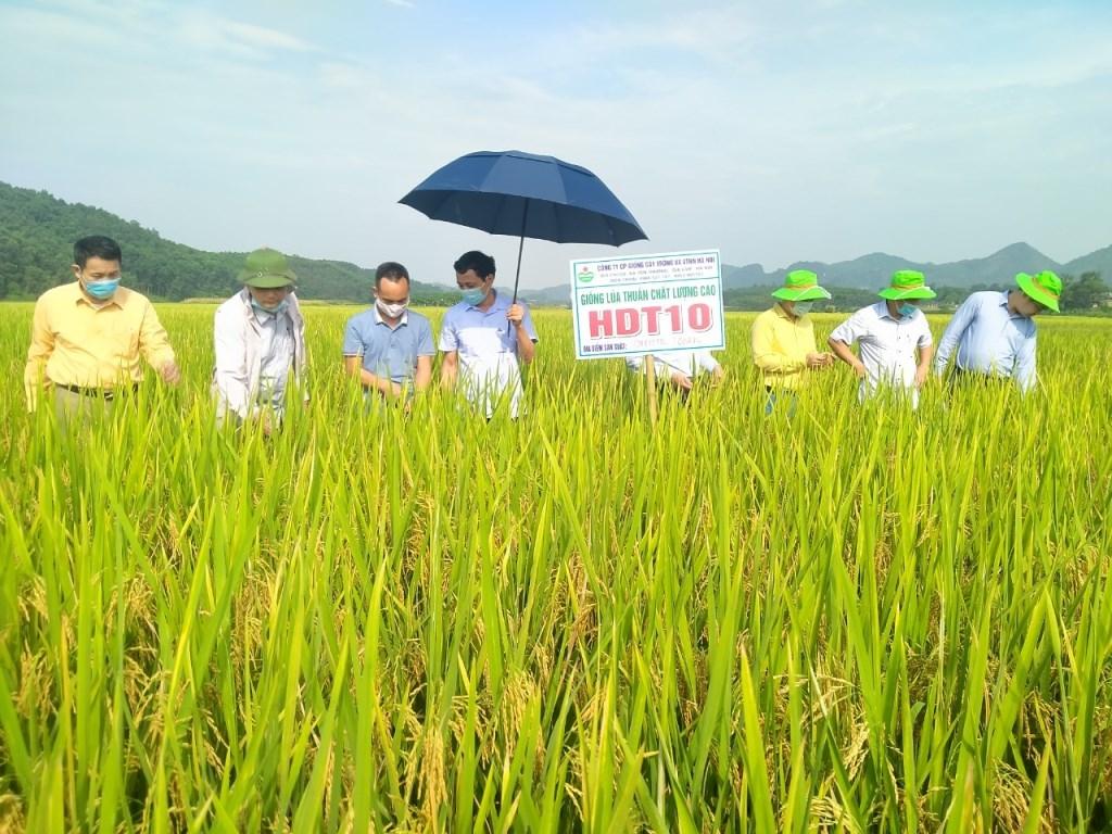 Mô hình giống lúa mới HDT10 tại huyện Sơn Dương vụ xuân 2021