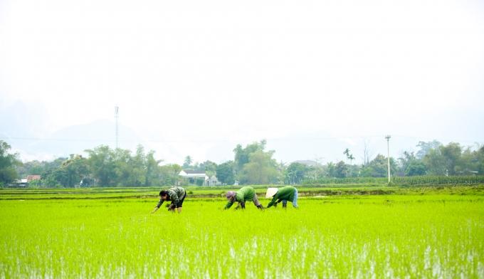 Nhiều diện tích lúa ở các huyện miền núi Nghệ An đang phát triển tốt.
