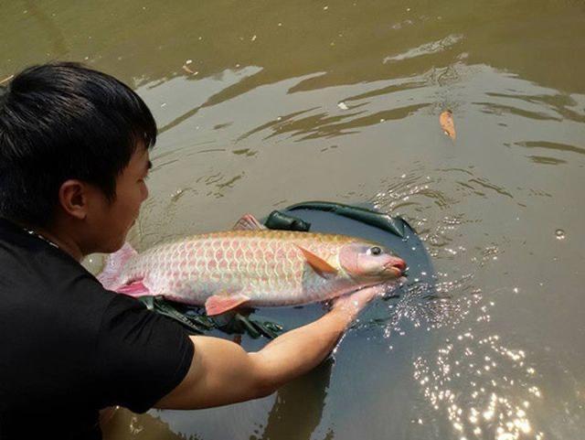 Cá dầm xanh được gọi là loài cá tiến vua, mang lại lợi nhuận kinh tế cao cho người dân.