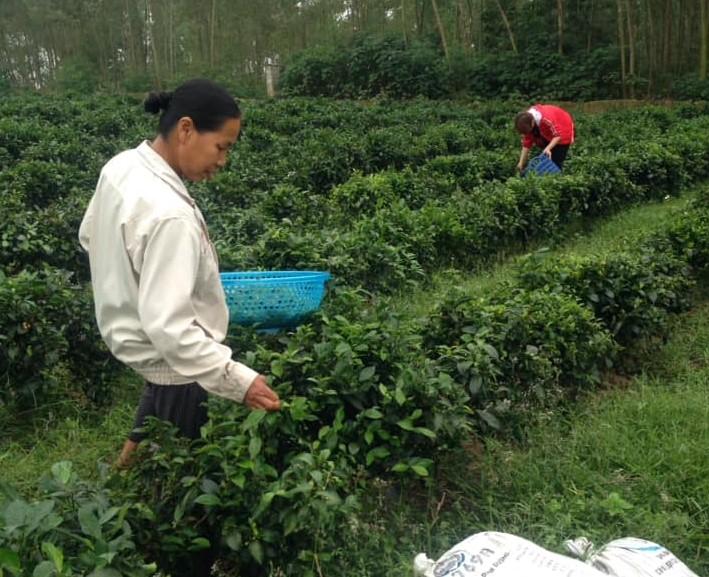Người dân xã Yên Dương (Tam Đảo) thu hoạch chè