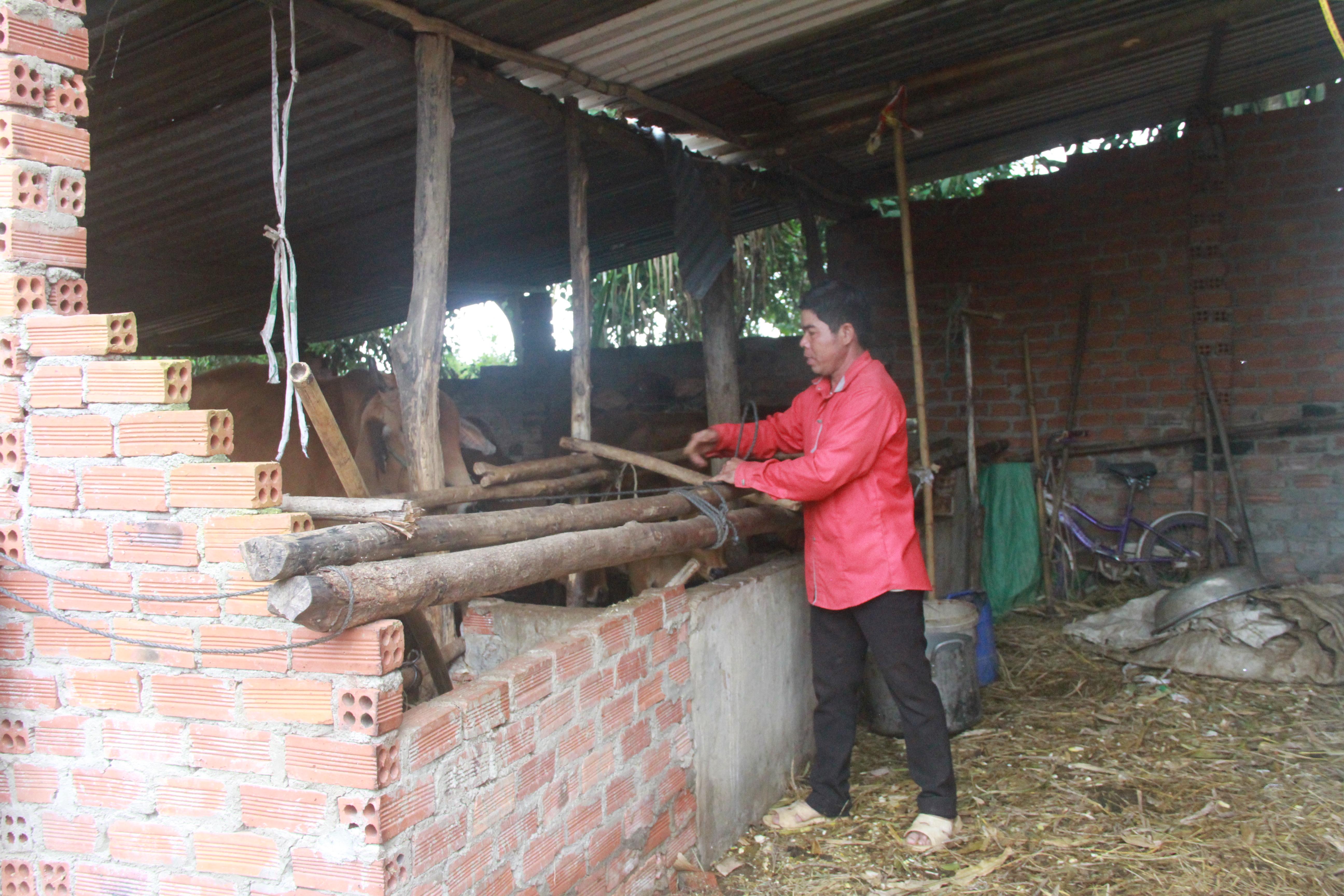 Ông Y Nham Byă, buôn Cư Kniêl hiện có 10 con bò, là một hộ kinh tế khá vững ở khu tái định cư