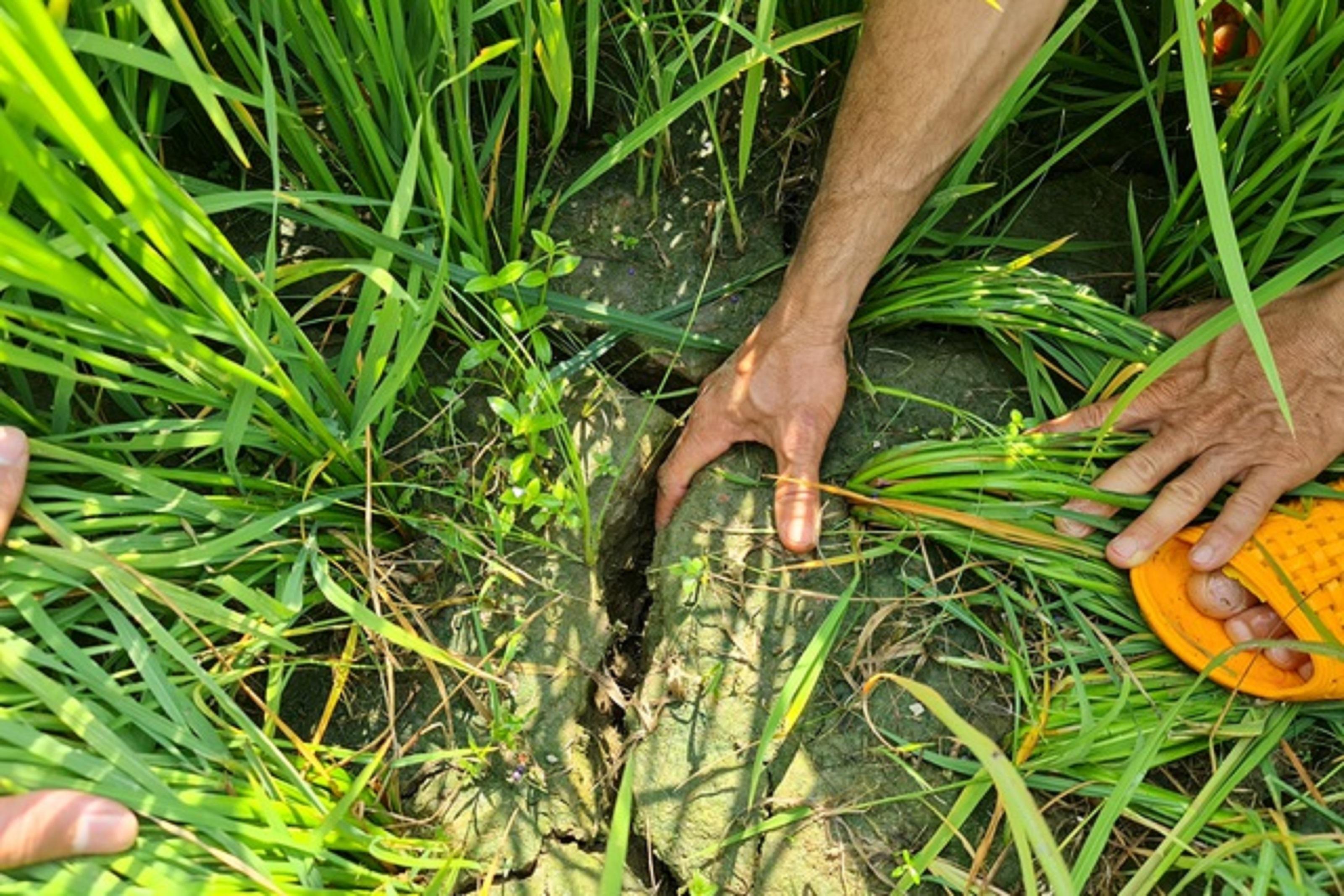 Ruộng lúa nứt toác vì thiếu nước