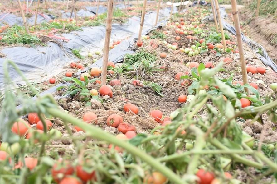 Không thể tiêu thụ do dịch Covid-19, nông sản ở Hải Dương bị vứt bỏ đầy ruộng hồi tháng 2. Ảnh Thủy Nguyên