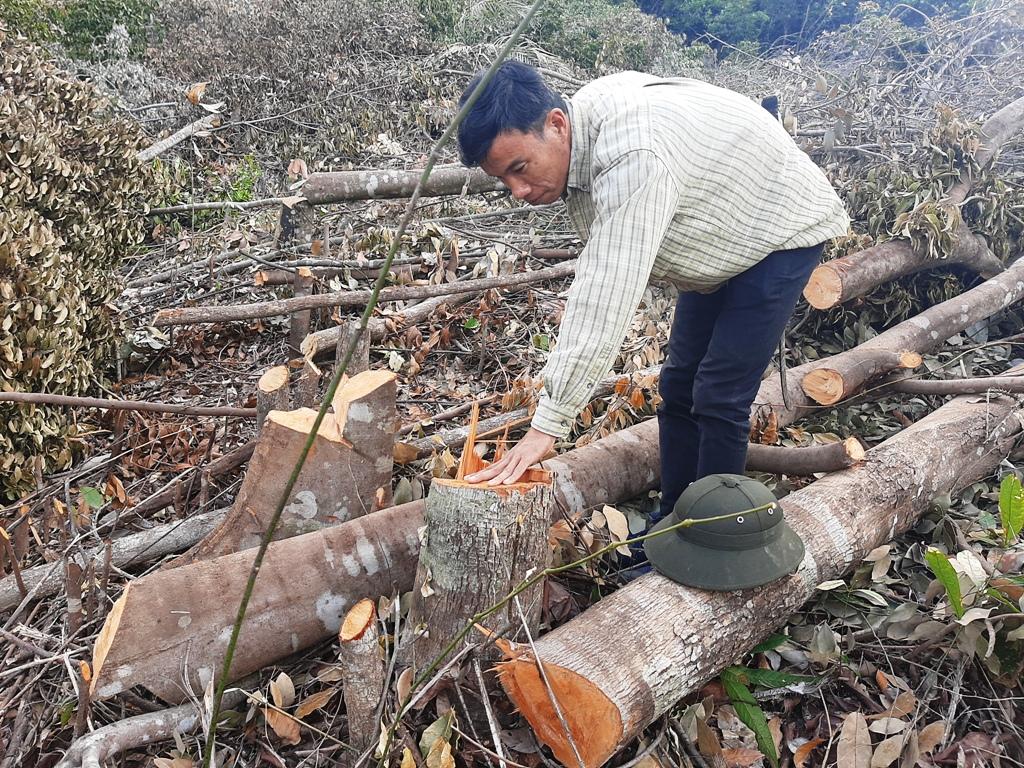 Nhiều cây rừng bị đốn hạ nằm ngổn ngang