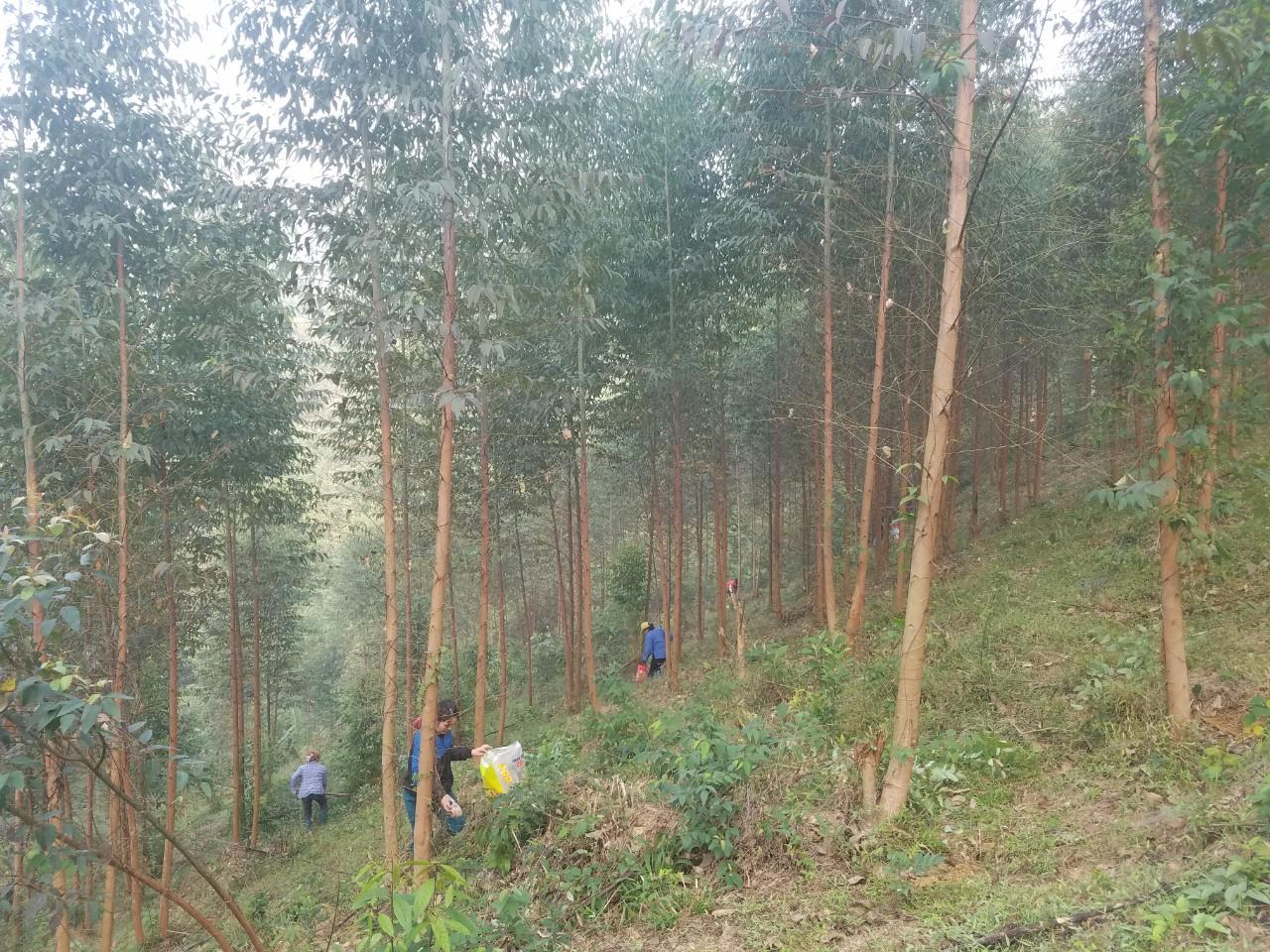 Người dân xã Đội Cấn phát triển kinh tế đồi rừng.