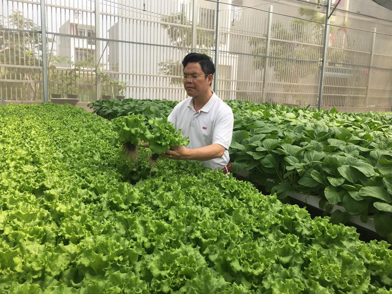 Mô hình trồng rau thủy canh đem lại lợi nhuận kinh tế cao