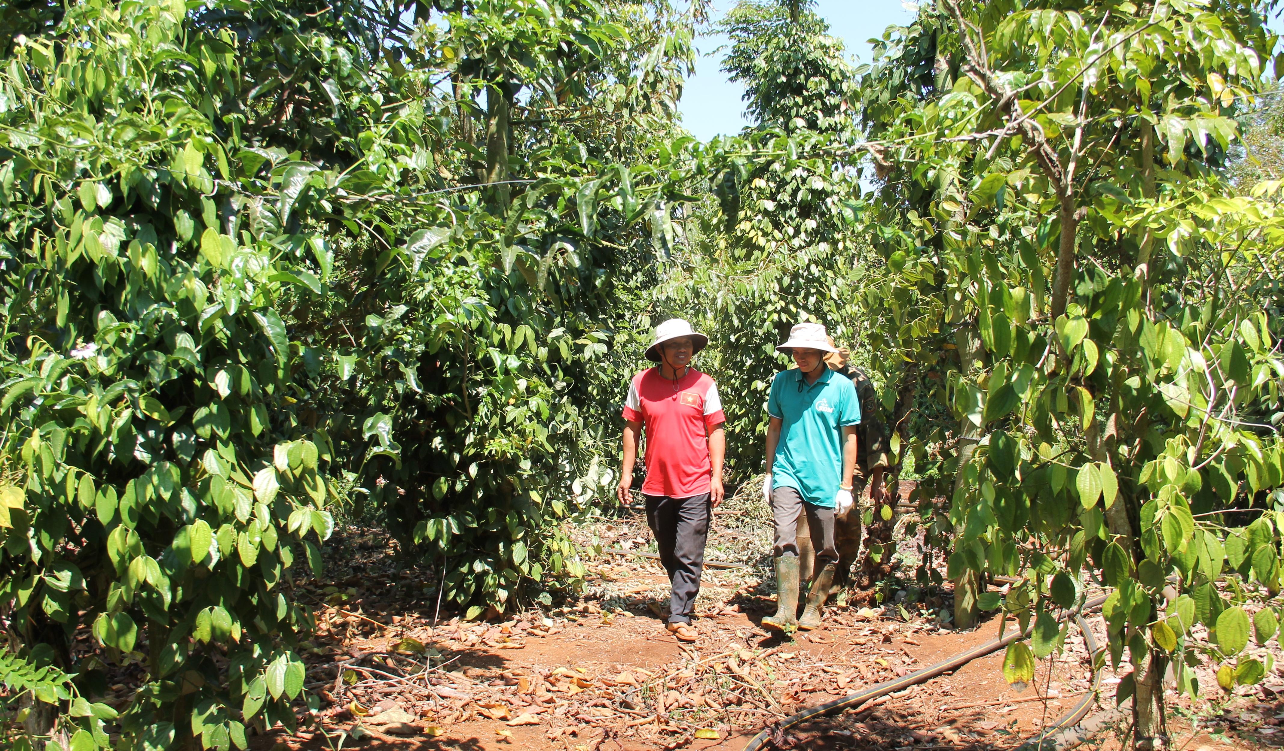 Một vườn cà phê sản xuất theo hướng cảnh quan bền vững