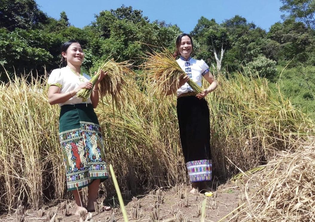 Niềm vui của phụ nữ xã Na Loi với lúa khẩu cháo hom
