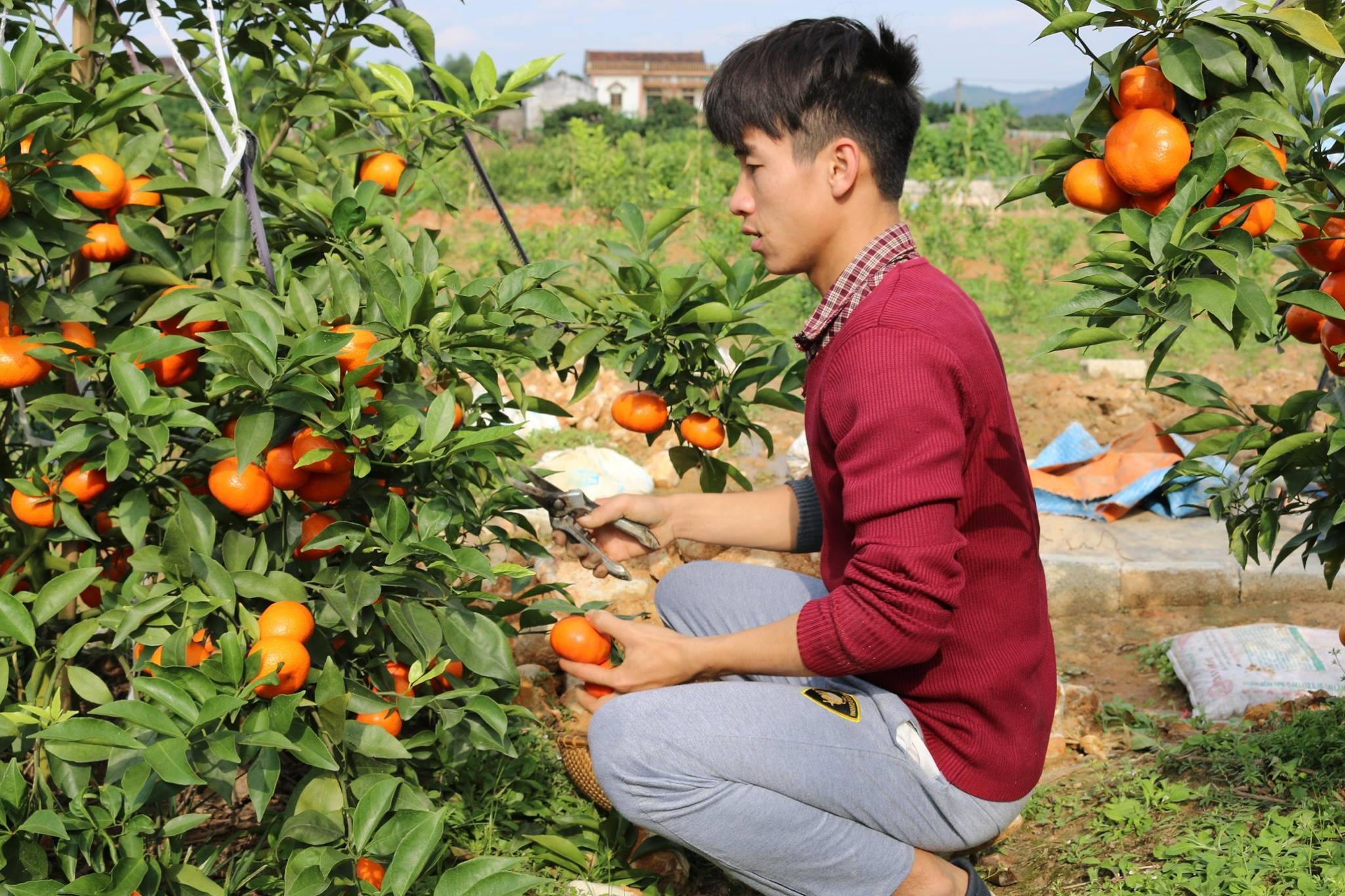 Mô hình trồng cam Đường Canh của người dân Bạch Thông