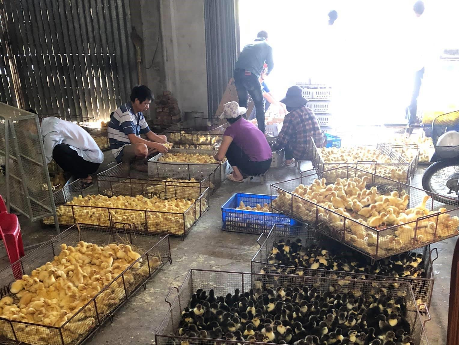 Người dân xã Đôn Phong (Bạch Thông) lựa chọn ngan giống