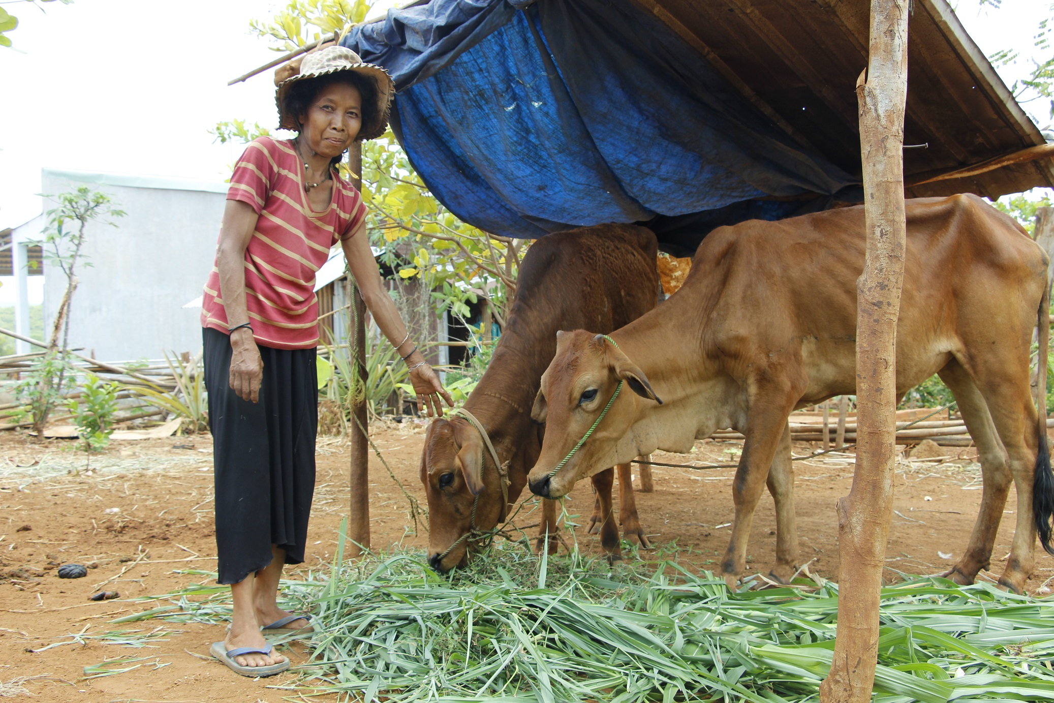 Chị Thị Đúp tươi cười bên hai con bò được nhà nước trao tặng