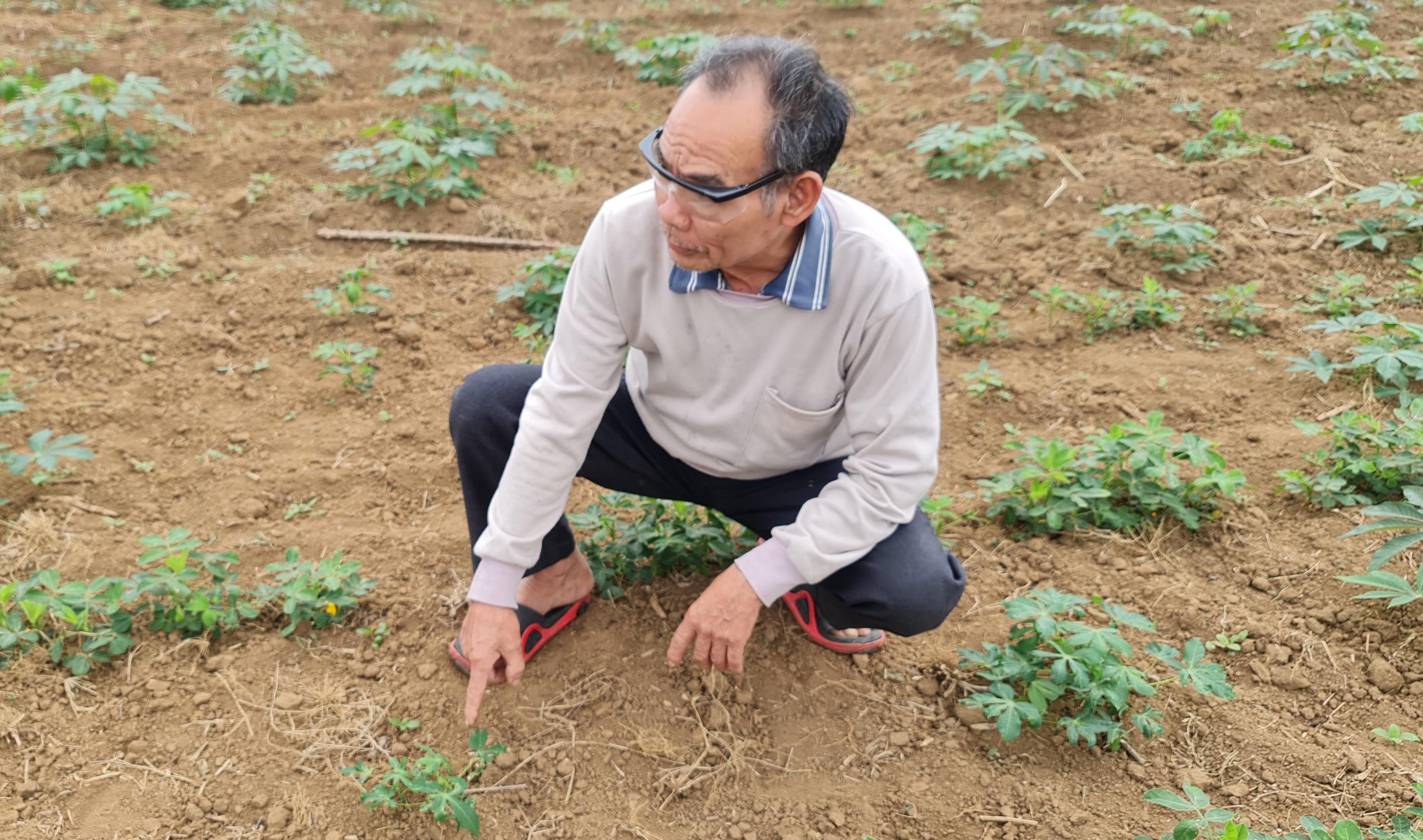 ông Lê Thọ Bình, xã Xuân Dương, huyện Thường Xuân phải nhổ bỏ toàn bộ diện tích sắn bị nhiệm bệnh