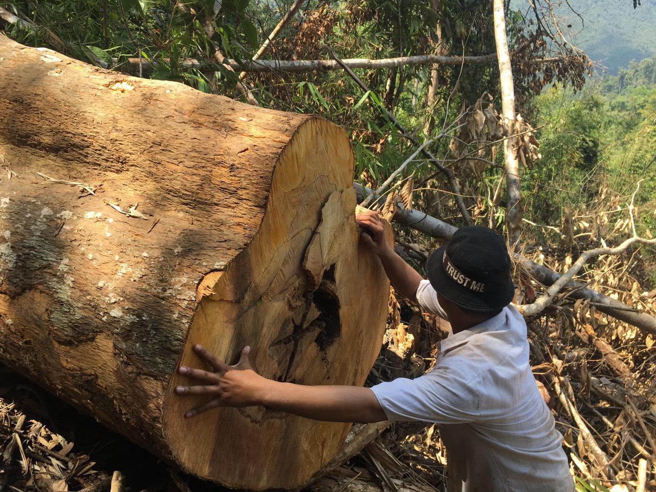 Một cây gỗ to bị lâm tặc đốn hạ