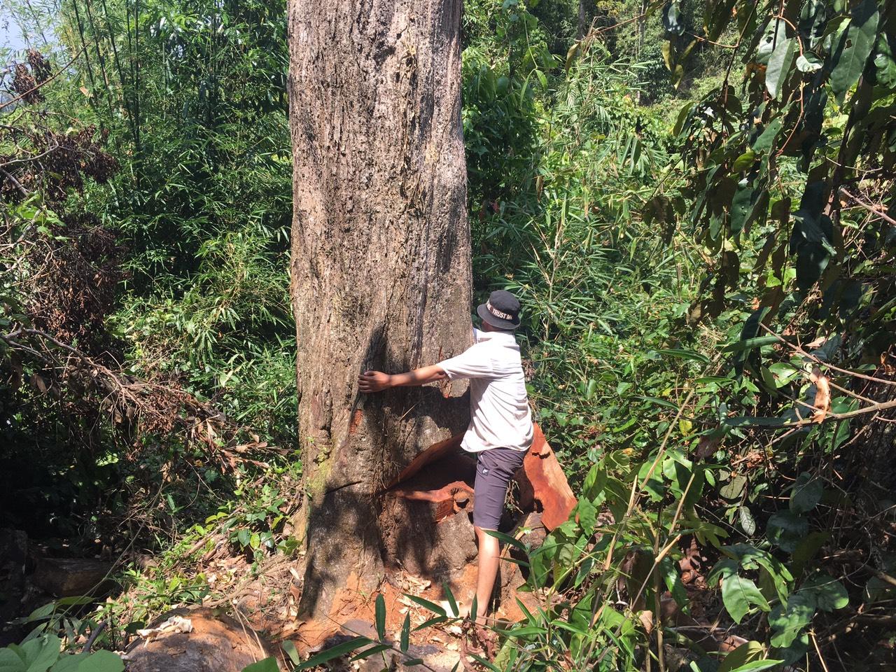 Một cây gỗ lớn bị lâm tặc cưa dở