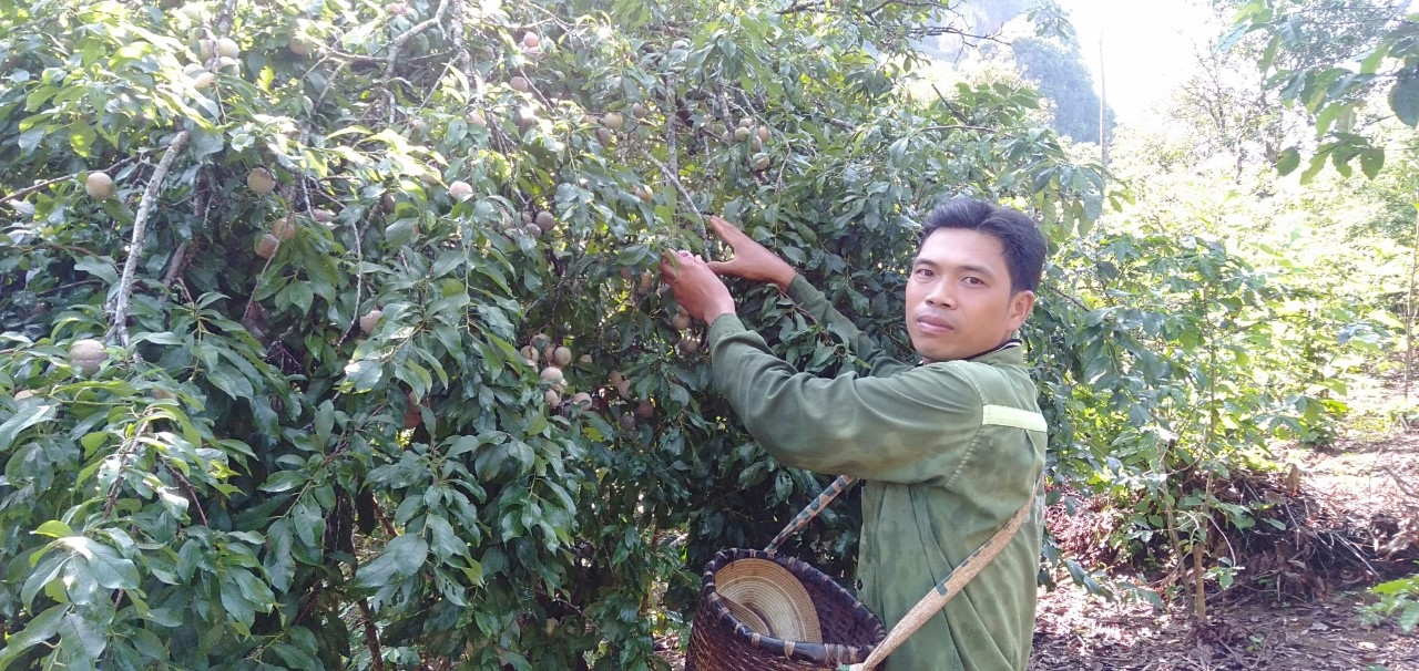 Anh Lò Văn Miên, bản Lề, xã Tông Cọ, huyện Thuận Châu (Sơn La) cho biết năm nay mận được mùa nhưng mất giá.