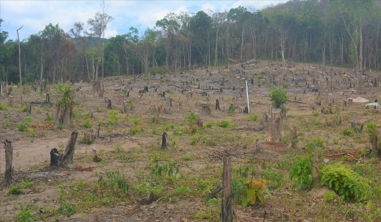 Những năm qua diện tích rừng bị thu hẹp bởi hậu quả của di cư tự phát là không hề nhỏ (Ảnh tư liệu)
