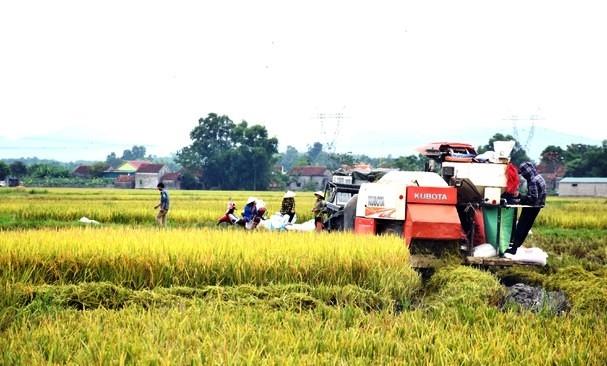 Thu hoạch lúa ở huyện Triệu Phong tỉnh Quảng Trị