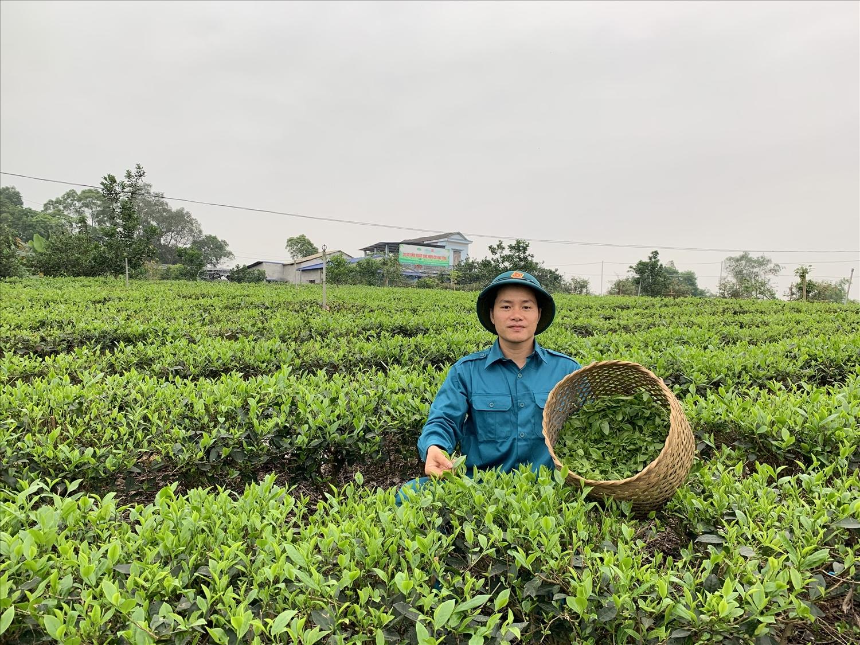 Lê Sơn Hải – chàng cử nhân từ bỏ phố thị về quê lập nghiệp từ cây chè.