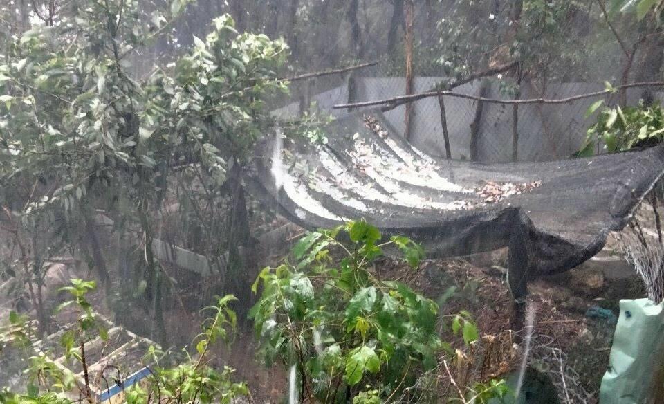 Trận mưa đá ở xã Trà Linh làm nhiều vườn sâm Ngọc Linh bị hư hại. Ảnh: Đình Thọ