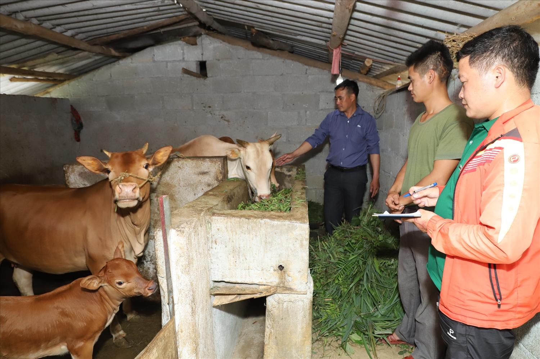 Cán bộ Ủy ban MTTQ xã Lũng Chinh kiểm tra mô hình bò giống luân chuyển tại thôn Mèo Vống.