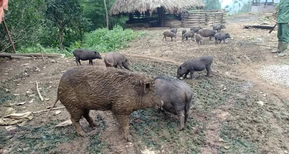 """Cửa hàng """"Thịt lợn Tiến sĩ"""" online giúp hỗ trợ tiêu thụ thịt lợn của người DTTS và miền núi."""