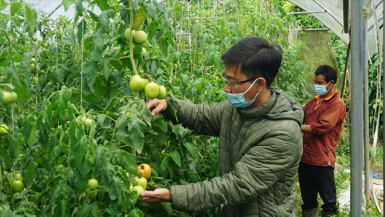 Thị trường tiêu thụ giảm, giá xuống thấp anh Triết (áo xanh) phải điều tiết sự sinh trường và phát triển của cây cà chua