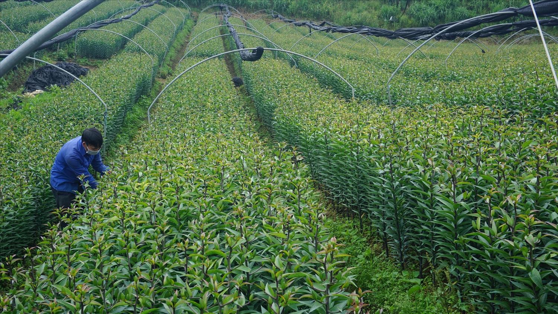Hầu hết diện tích hoa ly của gia đình chị Hà đang sử dụng củ giống F2