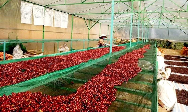 Công đoạn phơi, sấy cà phê Arabica tại công ty TNHH Pun cafe