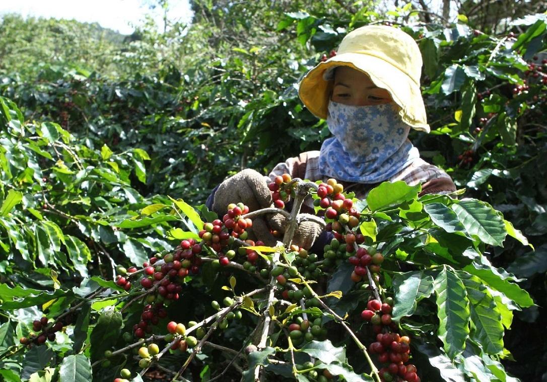 Quả cà phê Arabica khi chín có màu đỏ tươi (Ảnh: Nguyễn Đình Phục)