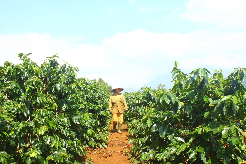 Bà con chăm sóc cây cà phê (Ảnh: Nguyễn Đình Phục)