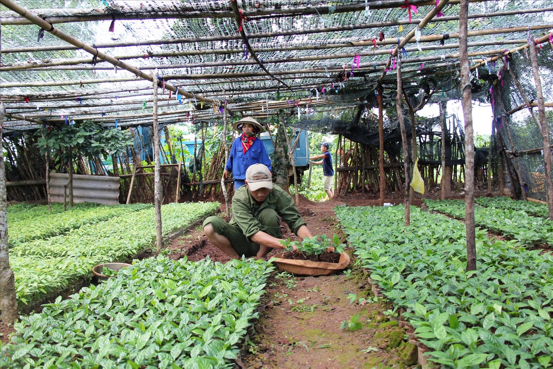 Vườn ươm cây cà phê Arabica ở Hướng Phùng (Ảnh :Nguyễn Đình Phục)