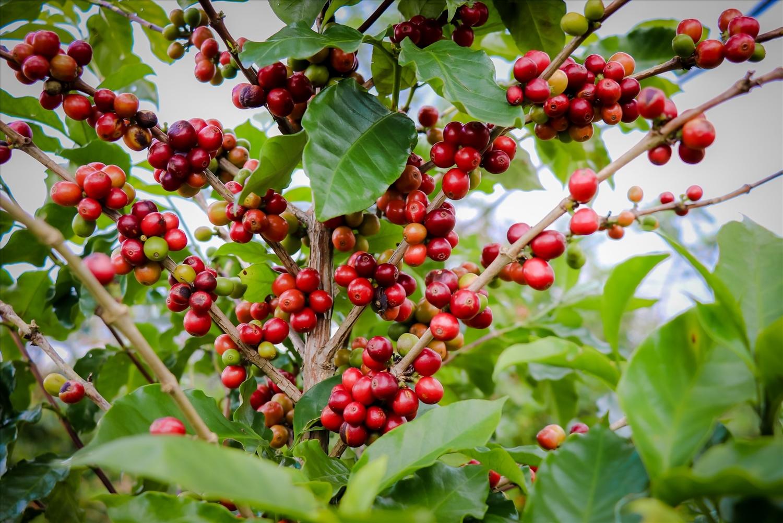 Quả cây cà phê Arabica (còn gọi là cà phê chè ) có màu đỏ rất tươi