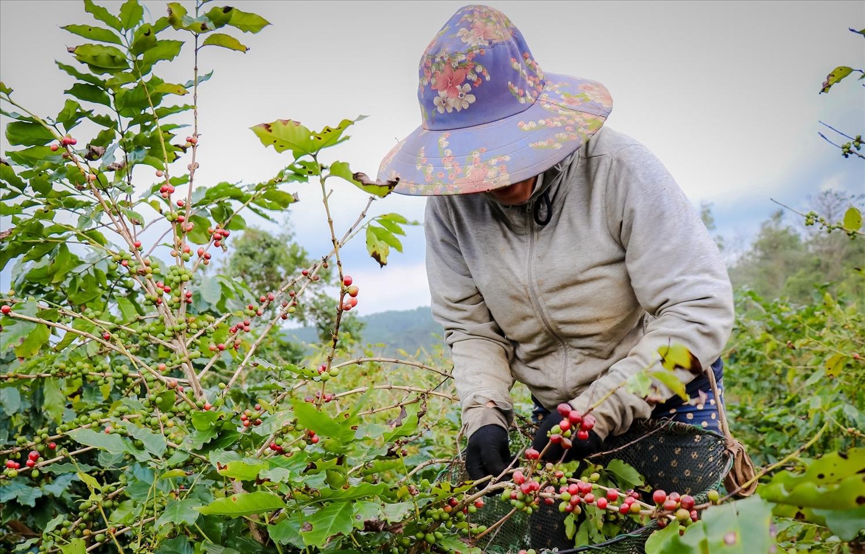 Người dân thu hoạch cà phê trên rây cà phê