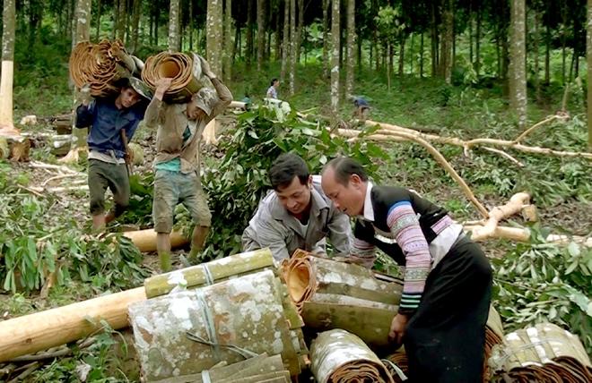 Người dân Văn Chân Yên Bái thu hoạch quế