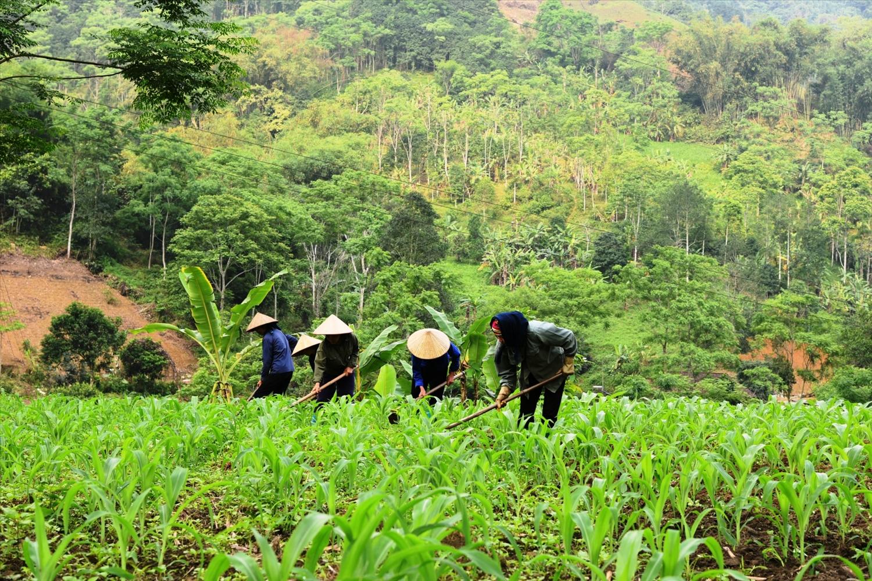 Cây ngô được trồng ở nhiều vùng đồng bào DTTS, miền núi