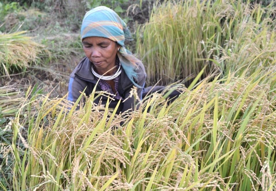 Đến năm 2050, năng suất, sản lượng lúa được dự báo sẽ giảm khoảng 6,6% so với hiện nay (Ảnh minh họa)