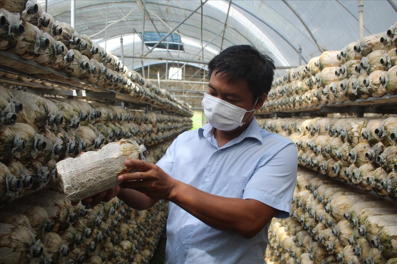 Mỗi năm HTX Trúc Phương sản xuất ra thị trường khoảng 400.000 bịch nấm các loại