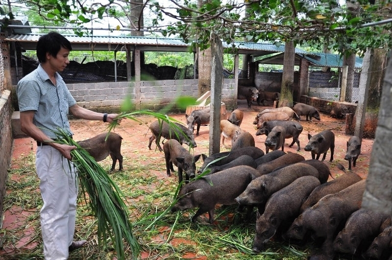 Mô hình nuôi lợn đen của HTX Mu Hom mang lại thu nhập cao cho các thành viên.