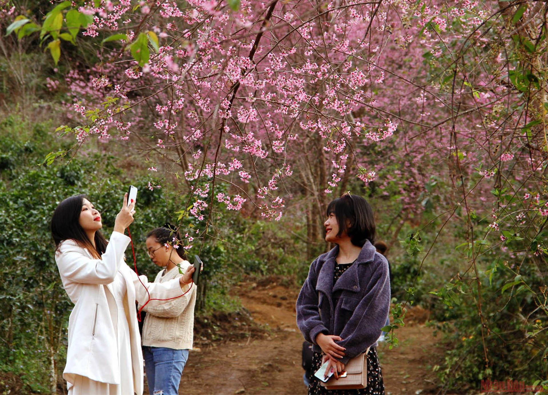 Sắc hoa mai anh đào dưới chân núi Lang Biang hấp dẫn du khách.