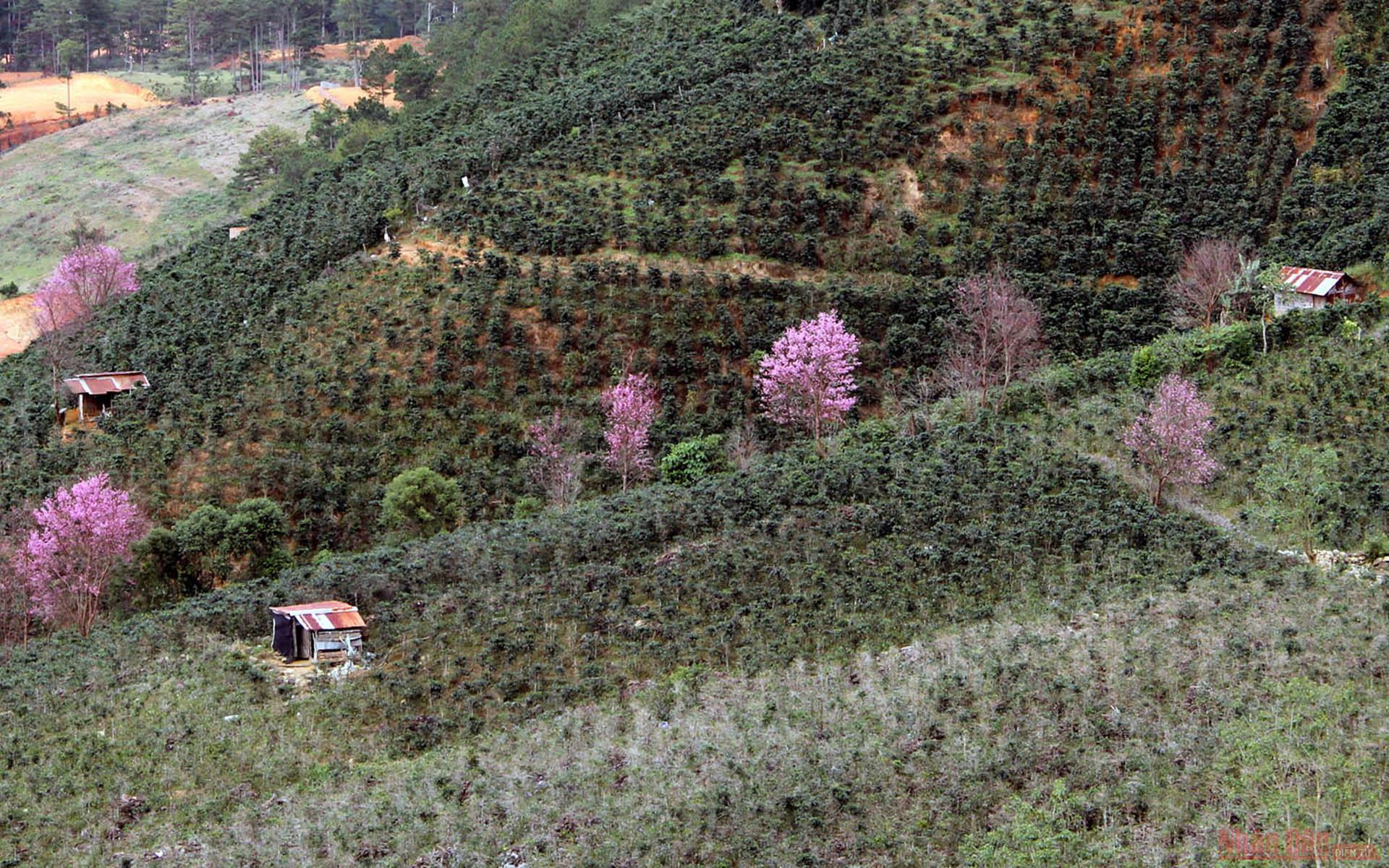 """""""Làn ranh hồng"""" giữa những khu vườn phía chân núi Lang Biang."""