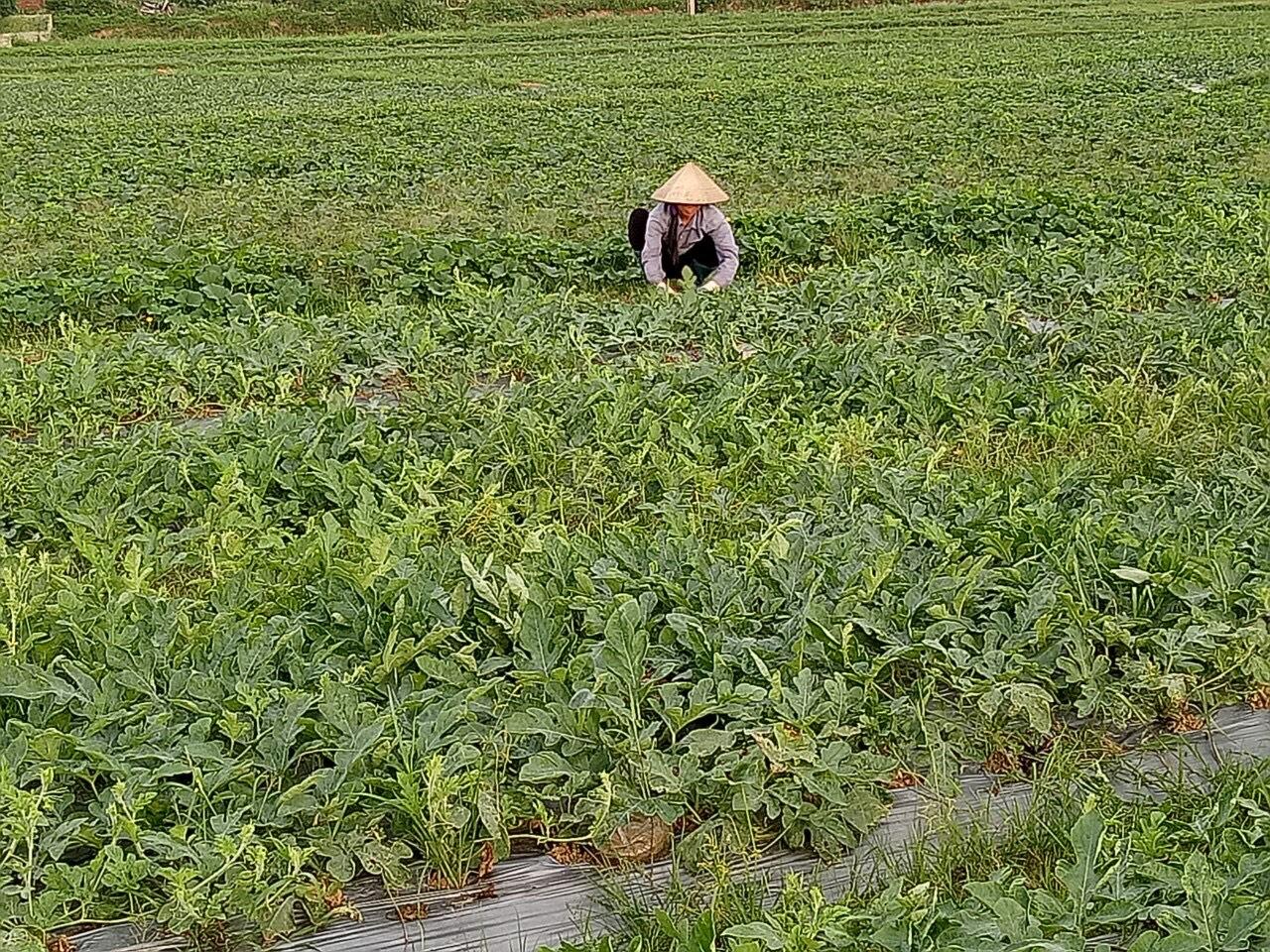 ùng sản xuất rau màu tại thôn Nghè 3, xã Tiên Nha.