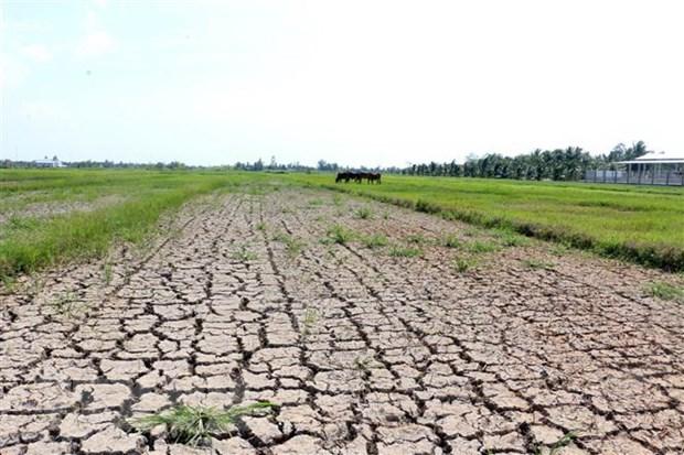 Hạn mặn ở Bến Tre khiến nhiều diện tích lúa bị thiệt hại. (Ảnh: Trần Thị Thu Hiền/TTXVN)