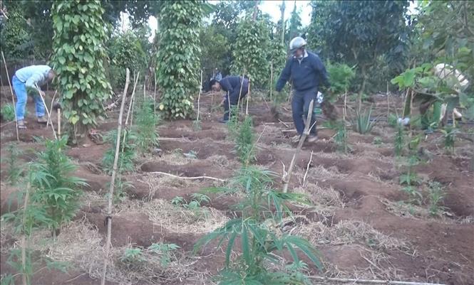 Lực lượng chức năng nhổ bỏ cây cần sa trồng trái phép trong rẫy của đối tượng Bảo. Ảnh: TTXVN phát