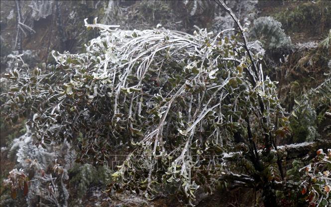Băng tuyết bao phủ trên các cành cây. Ảnh minh họa: Quốc Khánh/TTXVN.