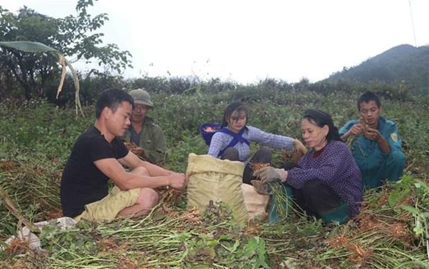 Người dân vùng Lục Khu, huyện Hà Quảng thu hoach lạc. Ảnh: Chu Hiệu - TTXVN