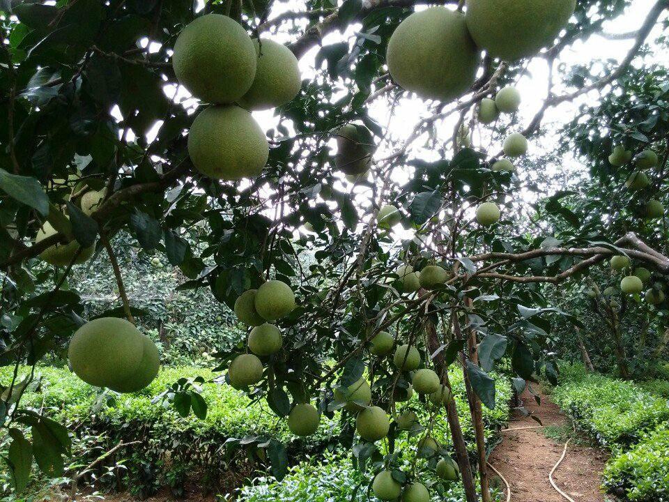 Bưởi Đoan Hùng- quả ngọt vùng Đất Tổ 3