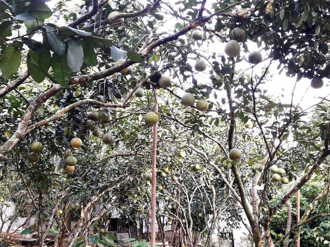 Những vườn bưởi ở Đoan Hùng rực vàng