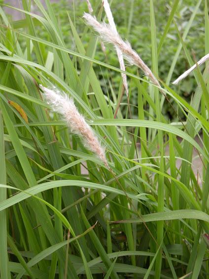Cây cỏ tranh và những tác dụng tuyệt vời đối với sức khỏe