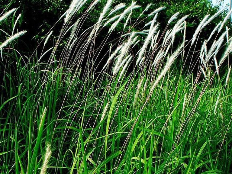 Cây cỏ tranh và những tác dụng tuyệt vời đối với sức khỏe 1